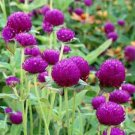 UNA 50 of Globe Amaranth Seeds, Purple, Heirloom Flower Seeds, Very Unusual Flowers