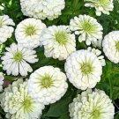 UNA 300 of White Zinnia Seeds, Polar Bear, Bulk Zinnia Seed, Heirloom Flower Non-gmo