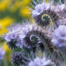 UNA 50 of Purple Tansy Seeds, Fiddle Neck Tansies, Annual Flower Seed, Unusual Blooms