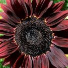 UNA 50 of Red Sunflower Seeds, Chocolate Cherry, Flower Seeds, Many Branches & Blooms