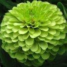 UNA 50 of Green Zinnia Seeds, Green Envy, Heirloom Zinnia Seeds, Heirloom Flower Seed
