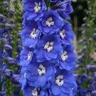 UNA 50 of Blue Delphinium Seeds, Blue Bird, Heirloom Flower Seeds, Tall Blue Flowers