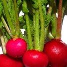 UNA 500 of Radish Seeds, Crimson Giant, Bulk Radish Seed, Heirloom Radishes, Non-Gmo