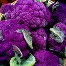 UNA 100 of Purple Broccoli Seeds, Purple Sprouting Broccoli, Heirloom Non-Gmo Seeds