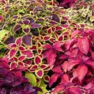 UNA 50 of Mixed Coleus Seeds, Foliage Plant Seeds, Non-Gmo Heirloom Flower Seeds
