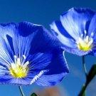 UNA 10000+ of 1 oz Blue Flax Seeds, Heirloom Wildflowers, Blue Flowers, Bulk Seeds