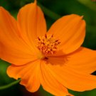 UNA 400 of Cosmos Seeds, Orange Sunshine, Sulfur Cosmos, Orange Cosmos, Bulk Seeds