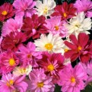 UNA 75 of Pink Cosmos Seeds, Pysche Mix, Heirloom Cosmos, Non-Gmo Draws Butterflies