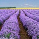 UNA 50 of Vera Lavender Seeds, Bulk Lavender, Non-GMO