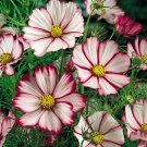UNA 1/4 oz Pink Cosmos Seed, Picotee, Heirloom Cosmos, Bulk Seeds, Butterflies