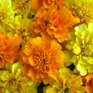 UNA 300 of Mixed Marigold Seeds, Bulk Seeds, French Marigolds, Non-Gmo Heirloom Seeds