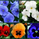 UNA Pansy Seeds, Pretty Pansies 5 Pack Special, Heirloom, Spring Or Fall Planting