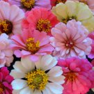 UNA 75 of Zinnia Seeds, Baby Girl Mix, Heirloom Zinnia Seed, Heirloom Flower. Non-GMO