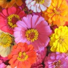 UNA 75 of Mixed Zinnia Seeds, Farm Mix, Heirloom Zinnia Seeds, Non-gmo Annual Flower