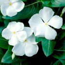UNA 250 of White Vinca Seeds, White Periwinkle Seeds, Heirloom Non-Gmo Flower Seeds