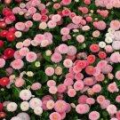 UNA 50 of Dwarf English Daisy Seed, Farm Mix, Heirloom Flower Seed, Non-Gmo Perennial