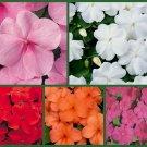 UNA Impish Impatiens 5 Packs, Red Impatiens, Orange Impatiens, Pink Impatien Seeds