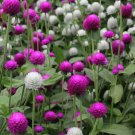 UNA 50 of Globe Amaranth Seeds, Purple & White, Flower Seeds, Very Unusual Flowers