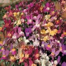 UNA 100 of Mixed Snapdragon Seeds, Baby Snapdragons, Toadflax, Non-Gmo Heirloom
