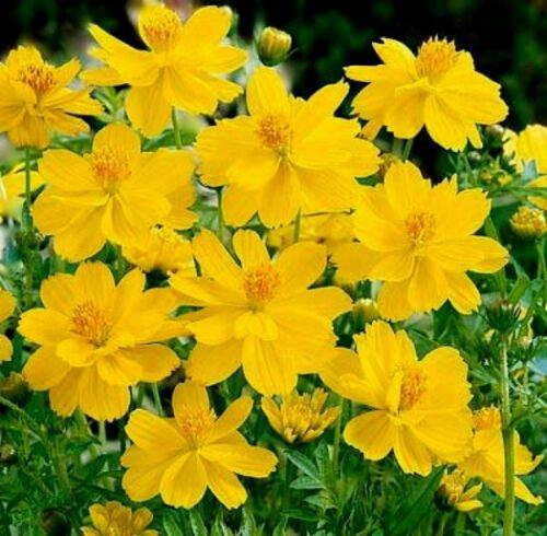 UNA 75 Cosmos Seed, Yellow Sunshine, Sulfur Cosmos, Taller Variety, Non-Gmo Seeds