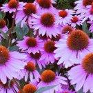 UNA 1 oz Purple Coneflower Seeds, Bulk Coneflower Seeds, Heirloom Non-GMO