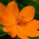 UNA 1/2 oz Orange Cosmos Seed, Sulfur Cosmos, Short Variety, Heirloom Non-Gmo