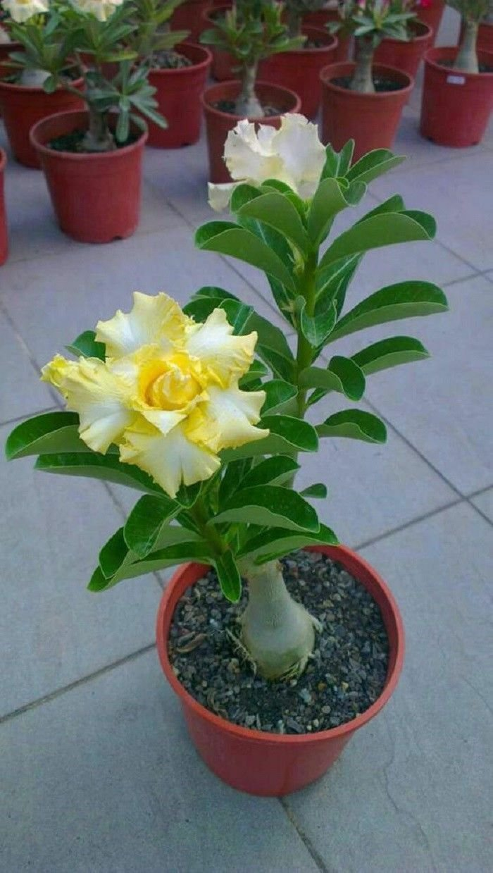 4 of Rare Yellow White Desert Rose Seeds Adenium Perennial Flowers