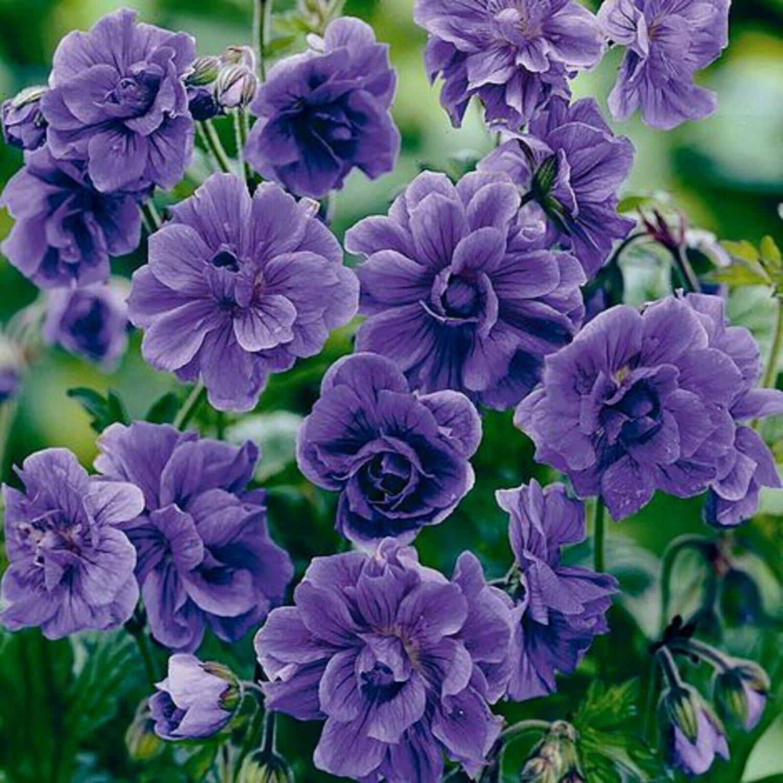 Double Purple Geranium 10 Seeds Flowers Perennial Flower Seeds