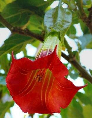 Red Angel Trumpet 10 Seeds Flower Fragrant Shrub Flowers Seed