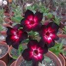 Pink Black White Desert Rose 4 Seeds Adenium Flower Perennial Seed