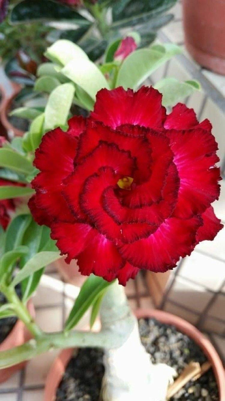 Red Black Tips Desert Rose 4 Seeds Adenium Obesum Flowers Perennial Exotic