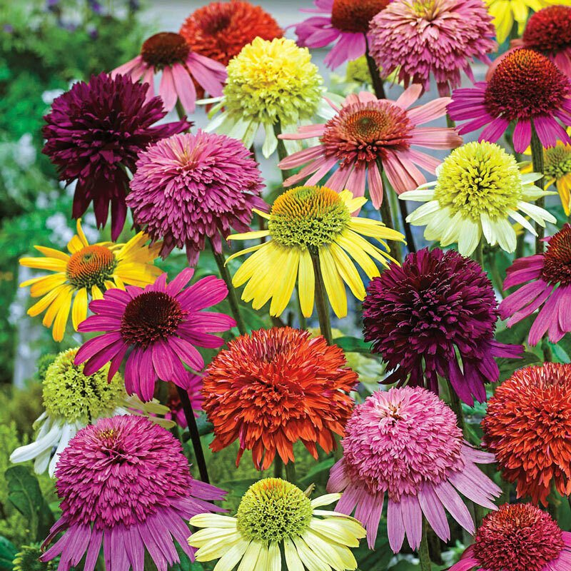 Double Mix Coneflower 50 Seeds Echinacea Flower Perennial Flowers