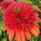 Double Orange Coneflower 50 Seeds - Echinacea Perennial Flowers Seed