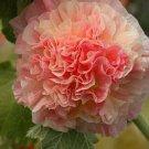 Double Orange Hollyhock 25 Seeds - Perennial Giant Flower Garden Seed Flowers