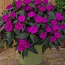 Bright Purple Impatients 50 Seeds - Flower Seed Flowers Annual Bloom