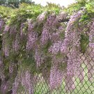 Pink Chinese Wisteria 5 Seeds - Vine Climbing Flower Perennial Rare Tropical
