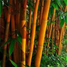 Orange Bamboo 50 Seeds - Privacy Seed Garden Clumping Exotic Screen