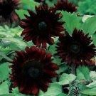 Black Magic Sunflower 25 Seeds - Flowers Seed Flower Perennial Bloom