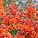 Bright Orange Hollyhock 25 Seeds - Perennial Flower Seed Flowers