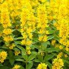 Bright Yellow Lysimachia 50 Seeds - Bloom Flowers Flower Perennial Creeping