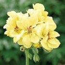 Yellow Geranium 10 Seeds - Perennial Flowers Seed Bloom Flower
