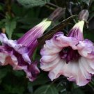 Double Purple Angel Trumpet 10 Seeds - Tropical Flowers Flower Seed