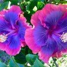 Pink Purple Blue Hibiscus 20 Seeds Flower Flowers Seed Perennial