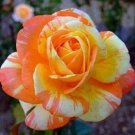 Orange White Rose 10 Seeds - Flower Bush Perennial Flowers Seed