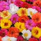 Bright Double Mix Moss Rose 100 - Seeds Bloom Perennial Flowers Seed