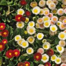 KoloKolo Store Bulk English Daisy Wildflower 3000 Seeds