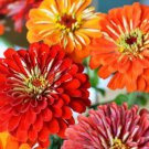KoloKolo Store Dahlia Flowered Zinnia Elegans Mixed Colors 100 Seeds