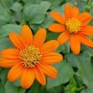 KoloKolo Store Mexican Orange Sunflower Seeds Tithonia Attract Butterflies 150 Seeds