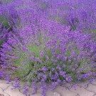 KoloKolo Store Lavender Seeds NON-GMO Vera English 200 Seeds