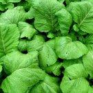lKoloKolo Store orida Broadleaf Mustard Seeds India NON-GMO 250 Seeds